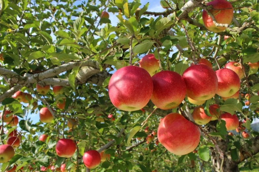 木 りんご の